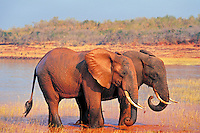 African elephant (Loxodonta africana) bulls taking mud bath in Lake Kariba, Zimbabwe.