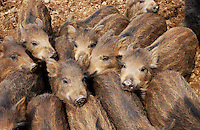 Wild Boar piglets, Chipping, Lancashire.