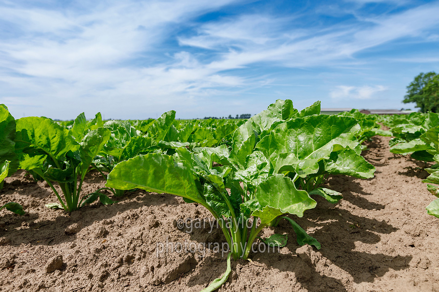 Sugar Beet - Lincolnshire, June