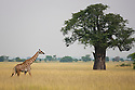 Tanzania, Tarangire National Park, Maasai giraffe
