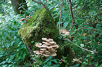 Toadstools on a tree stump in woods at Whitewell, Lancashire.