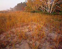 Point Beach State Park, WI<br /> Fall beachgrasses and forested dunes on the shoreline of Lake Michigan Point Beach State Forest