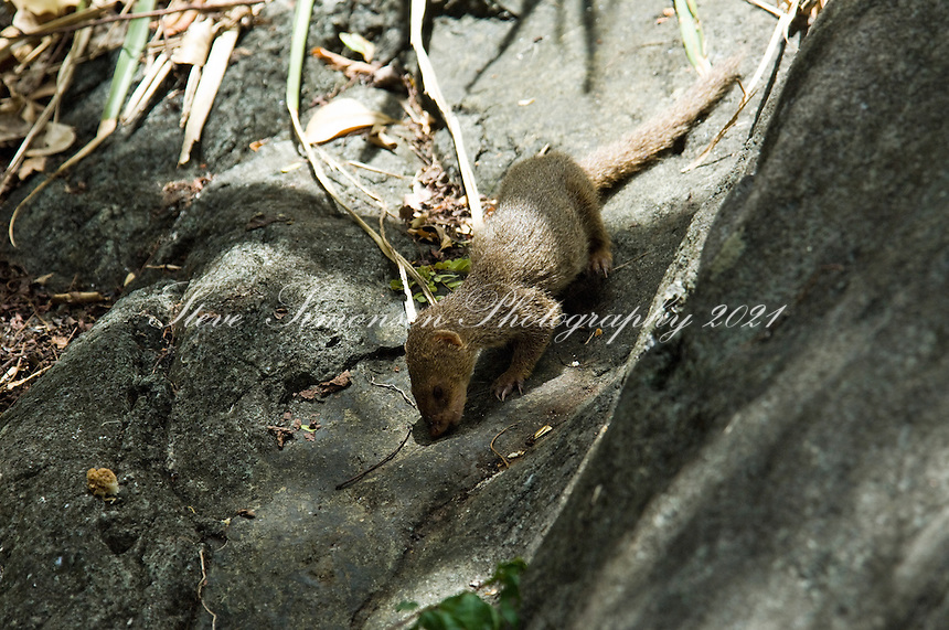 Mongoose at the petroglyphs in Reef Bay, Virgin Island National Park.  St John U.S. Virgin Islands
