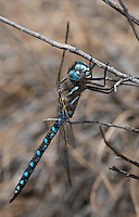 339300025 a wild male california darner rhionaeschna californica perches on a grass stem near ash creek at ash creek campground lassen county california
