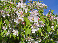 Malus crabapples in flower in spring, possibly M. x zumi 'Golden Hornet' . Crab apple