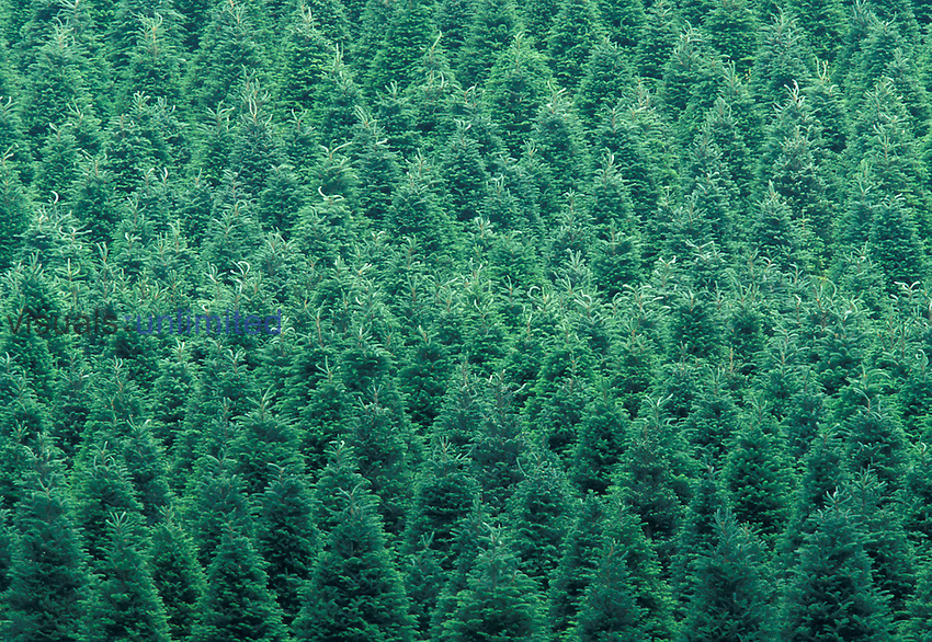Pattern in a North Carolina Christmas tree farm, USA.