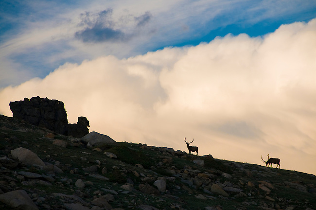 bull elk, wapiti, Cervus canadensis, silhouette, ridge, thunderhead, alpine tundra, summer, Trail Ridge, Rocky Mountain National Park, Colorado, USA
