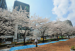 April 6, 2012, Tokyo, Japan - Cherry blossoms are in full bloom at Tokyo's Hibiya Park on Friday, April 6, 2012. It's springtime in Tokyo and time to stop and appreciate fragile pale pink blossoms in full bloom all over the nation's capital. Last year, Japan's most popular national passtime was somewhat muted due to the March 11 earthquake and tsunami. But this year, the centuries-old tradition has come back with revelers eager to use the occasion as a way to break from a year marked by the crisis and disaster. (Photo by Natsuki Sakai/AFLO) AYF -mis-
