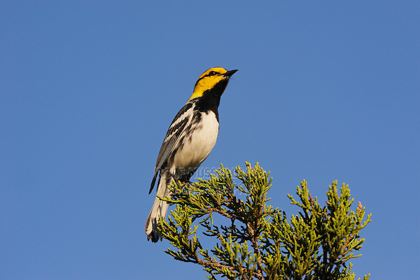 Golden-cheeked Warbler (Dendroica chrysoparia), male on Mountain Cedar (Juniperus ashei), Friedrich Wilderness Park, San Antonio, Hill Country, Central Texas, USA