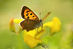 Small Copper Butterfly, Lycaena phlaeas, on Birds-foot Trefoil, Queensdown Warren, Kent Wildlife Trust, UK,