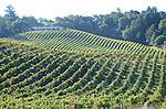 Vineyard near Healdsburg