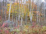 Rock and Birch Grove in New Hampshire