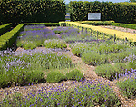 National collection of lavender  plants at Norfolk Lavender, Heacham, Norfolk, England