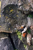 Horned Puffin on a rocky ledge, St. Paul Island, Pribilof Islands, Alaska.