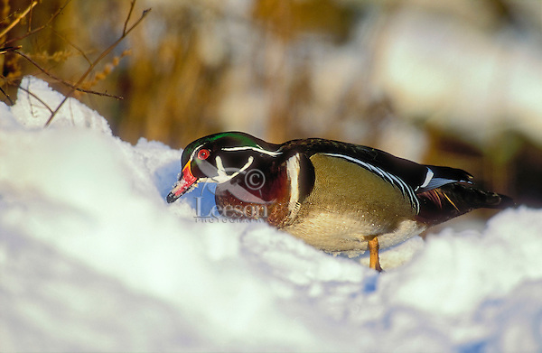 Wood Duck (Aix sponsa) drake in snow, winter, North America.