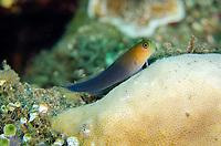 Bicolor Blenny, Ecsenius bicolor, Liberty Wreck dive site, Tulamben, near Seraya, Bali, Indonesia, Indian Ocean