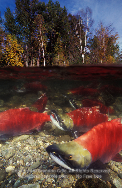 mb20. Sockeye Salmon (Oncorhynchus nerka). British Columbia, Canada. .Photo Copyright © Brandon Cole. All rights reserved worldwide.  www.brandoncole.com..This photo is NOT free. It is NOT in the public domain. This photo is a Copyrighted Work, registered with the US Copyright Office. .Rights to reproduction of photograph granted only upon payment in full of agreed upon licensing fee. Any use of this photo prior to such payment is an infringement of copyright and punishable by fines up to  $150,000 USD...Brandon Cole.MARINE PHOTOGRAPHY.http://www.brandoncole.com.email: brandoncole@msn.com.4917 N. Boeing Rd..Spokane Valley, WA  99206  USA.tel: 509-535-3489