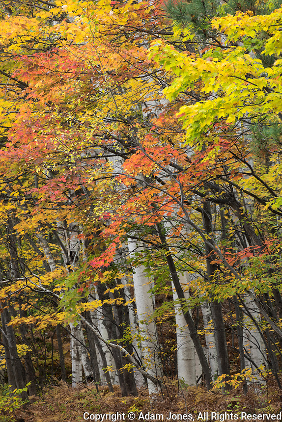 Autumn birch and maple leaves, Hiawatha National Forest, Upper Peninsula of Michigan.
