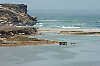A herd of camel cools down in the shallow waters on the Oman coast