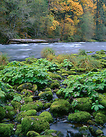 ORCAC_072 - USA, Oregon, Willamette National Forest, McKenzie River with moss-covered rocks, sweet coltsfoot and autumn-colored maples.