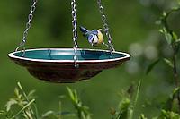 Blaumeise an der Vogeltränke, Tränke, trinkend, Trinken, Wasser, Wasserschale, Trinknapf, Blau-Meise, Meise, Cyanistes caeruleus, Parus caeruleus. Blue tit, Bird bath, drinking trough