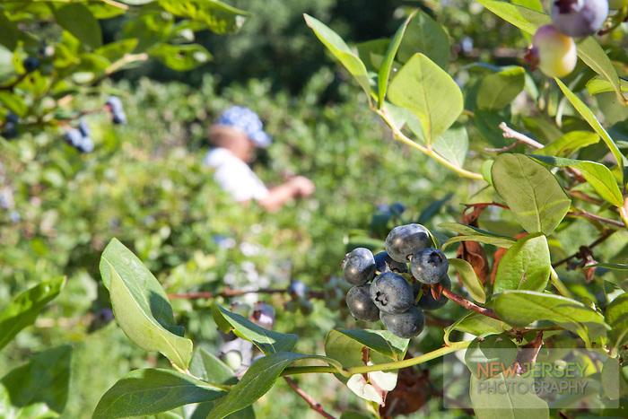 Picking blueberries, Wells Farm, New Jersey