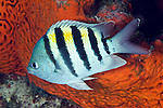 Abudefduf saxatilis, Sergeant major, Florida Keys