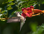 Archilochus colubris, Ruby-Throated Hummingbird, Female