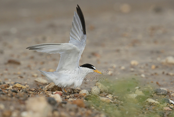 Least Tern (Sterna antillarum), adult on nest with eggs, Port Isabel, Laguna Madre, South Padre Island, Texas, USA