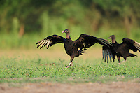 Black Vulture (Coragyps atratus), adults running, Dinero, Lake Corpus Christi, South Texas, USA