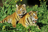 Siberian Tiger cubs (Panthera tigris altaica)