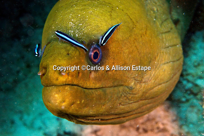 Green Moray being cleaned by Neon Gobies (Gobiosoma oceanops)