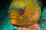 Gymnothorax funebris, Green moray, Florida Keys
