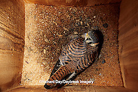 00818-00714 American Kestrel (Falco sparverius) female incubating in nest box   IL