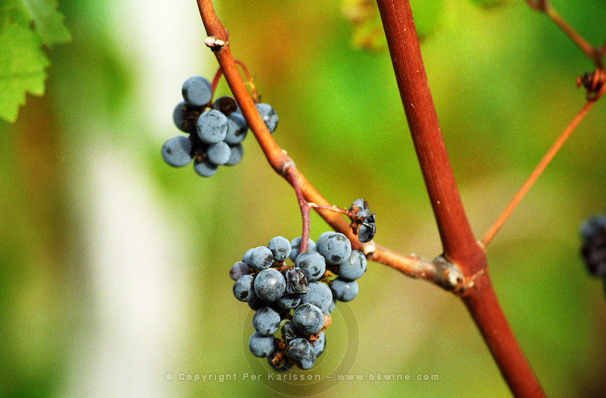 A few grapes bunches remain on the vine after the harvest. Some tiny Merlot . Château Beauregard, Pomerol, Bordeaux Gironde Aquitaine France Europe