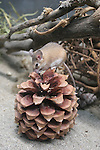 mouse on pine cone
