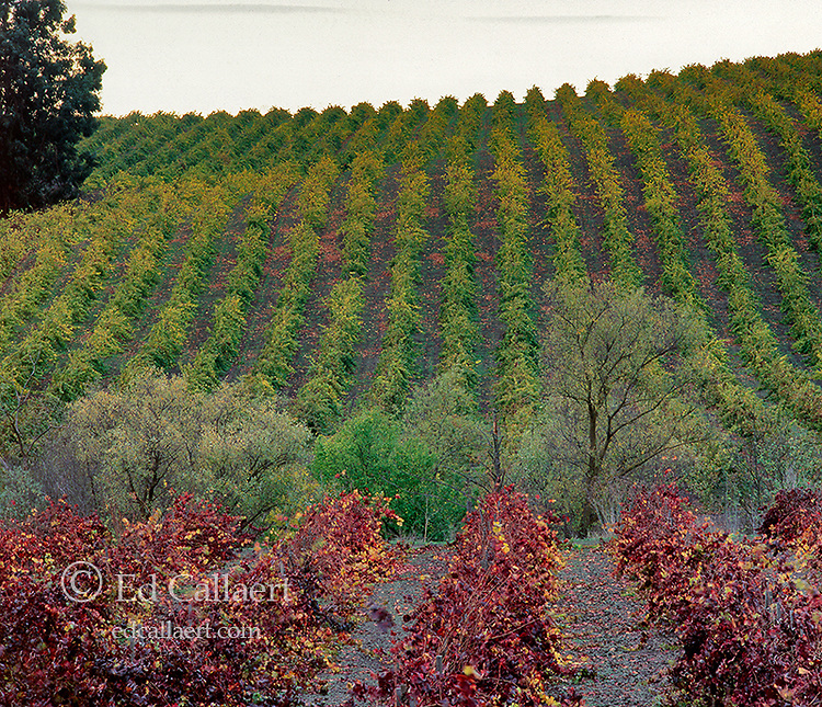 Autumn Grapevines, Carneros Appellation, Napa Valley, California