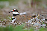 Adult Killdeer (Charadrius vociferus) incubating nest. King County, Washington. April.