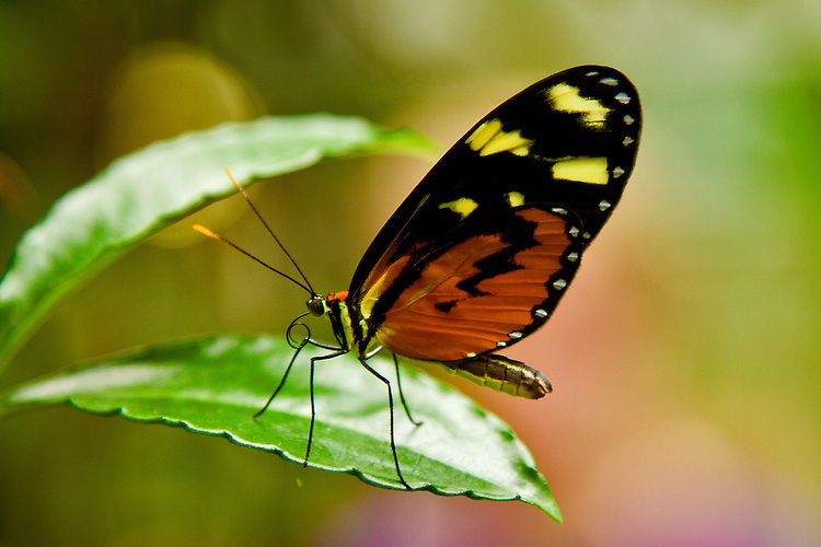A Tiger Clearwing perched on a bright green leaf with its probiscus partially uncurled against a myulti-colored pastel background.