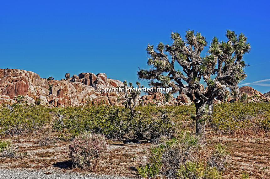 A large Joshua Tree in the Mohave Desert, Joshua Tree National Park, CA.