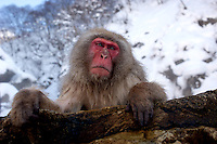 Torao, the head of the 160 snow monkey troupe at Jigokudani (Hell Valley) in Nagano Prefecture, Japan.  Japanese snow monkeys live in extreme conditions where winter temperatures can drop to -20 c, and they are unique in taking hot bath, known as an Onsen..28 Jan 2011.