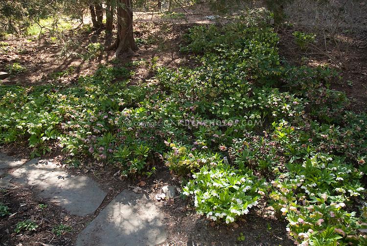 Hellebores in shade garden