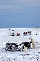 01874-11210 Polar bears (Ursus maritimus) near Tundra Buggy, Churchill, MB