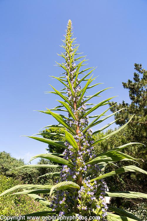 Giant viper's-bugloss plant flowering, Echium pininana, Coverack,  Lizard Peninsula, Cornwall, England, UK