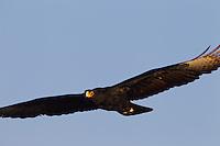 Black Eagle soaring past
