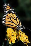 Monarch Butterfly (Danaus plexippus) - on yellow flowerhead, orange with white spots lifecycle, metamorphosis pattern wings.USA....