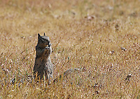 A California ground squirrel photographed in Pinnacles National Park.