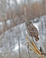 Great Grey Owl, Jackson Hole, Wyoming