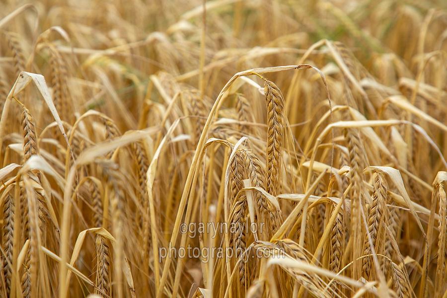 Winter barley in ear - Lincolnshire, July