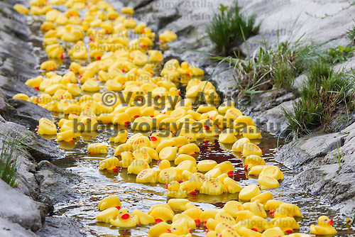 A thousand rubber ducks float on a creek during a charity race of the Rotary Club in Szentendre (about 20 km North of the capital city Budapest), Hungary on August 31, 2013. ATTILA VOLGYI
